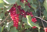 Syrop z owoców ekologicznej porzeczki czerwonej