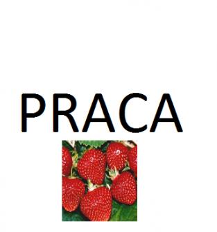 Praca przy zbiorze owoców - Dobrosławów