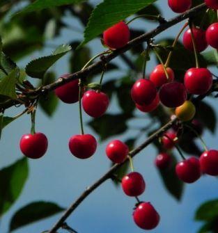 Zbiór wiśni - Praca