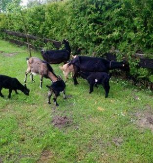 Sery  kozie