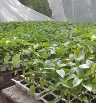 Rozsady pomidorów, papryki, pora, selera, cebuli cukrowej, rozsady roślin kapustnych