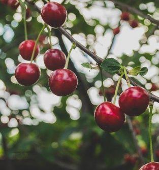 Zatrudnię osoby do zbioru wiśni