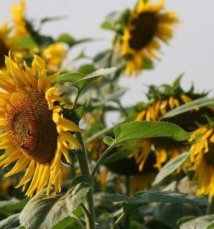 Ziarna słonecznika