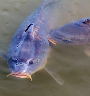 Żywe ryby karp,amur,szczupak