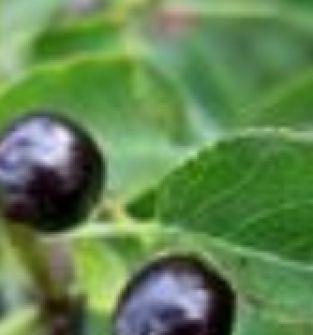 Podkładki generatywne: antypka, ałycza, czereśnia ptasia