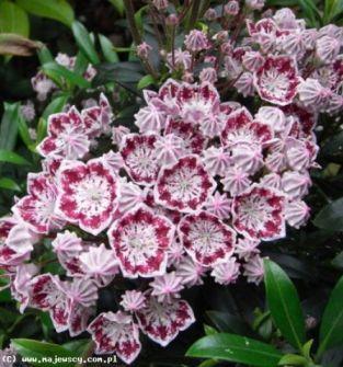 Kalmia (kalmia latifolia)