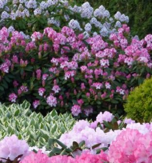 Różanecznik (Rhododendron) w gatunkach i odmianach