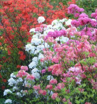 Azalie japońskie ( Rhododendron obtusum)