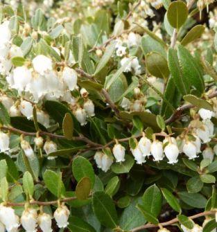 Chamedafne ( Chamaedaphne calyculata)