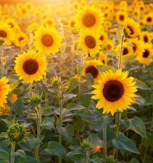 Słonecznik na kwiat cięty