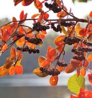 Aronia - krzewy z siewki