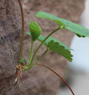 sadzonki truskawek