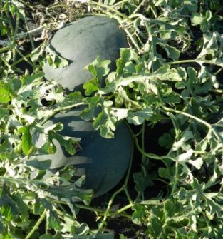Arbuz ekologiczny