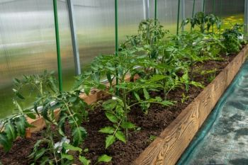 sadzonki pomidora szklarniowego