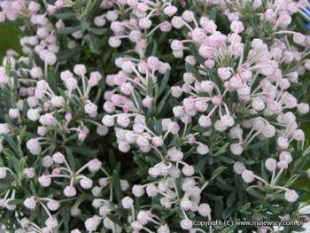 Modrzewnica(Andromeda polifolia)