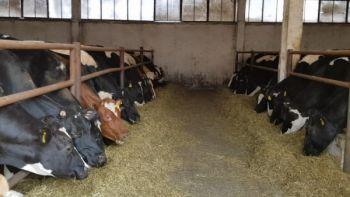 Krowy pierwiastki jałowice wysokocielne kraj i import